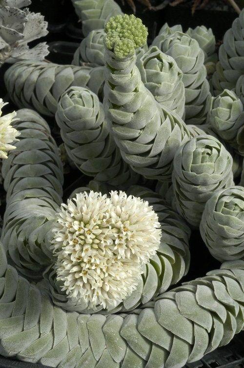 Spiral succulent plants the interesting unusual succulent plants botanic art gardening - Cool succulent plants ...