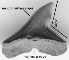 Hammerhead Shark Tooth (black because of age)