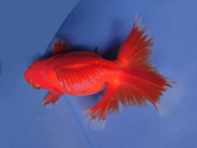 "Lot# 9349 VERY RARE ""A"" Grade SHOW QUALITY Young Red & White Tosakin (5.5 inches) goldfishnet.com"