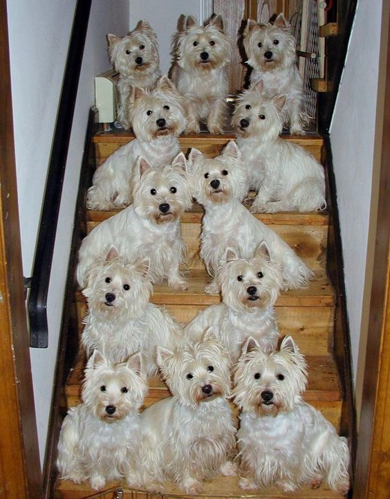 Westies better by the dozen: