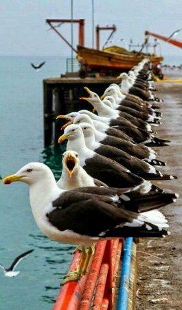 Goélands marins
