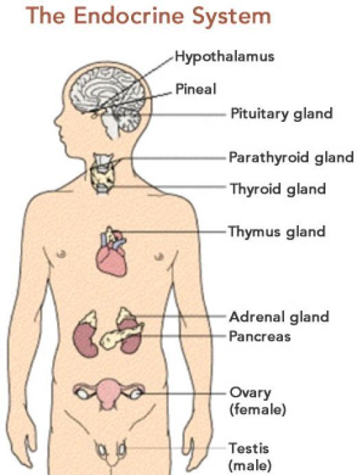This Is An Easy And Comprehensive Article About Diabetes Mellitus The Endocrine System And The Pancreas In Kids Endocrine System Endocrine Disorders Endocrine