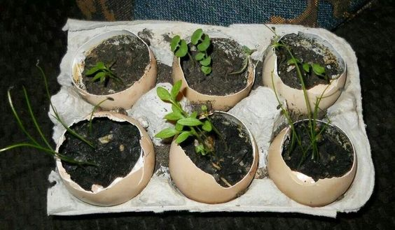Plant directly and egg shells break down over time