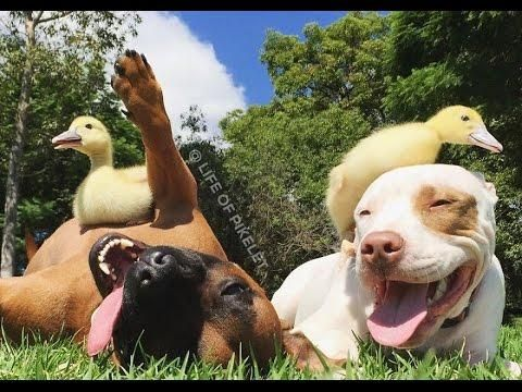 Rescue Dogs & Rescue Ducklings Best Friends. Video will make you smile. Guaranteed!