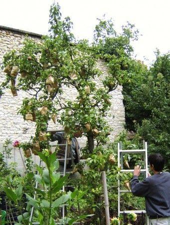 poirier 'Comice' #jardindesmerlettes Ensachage des poires #arbresfruitiers #poiriers