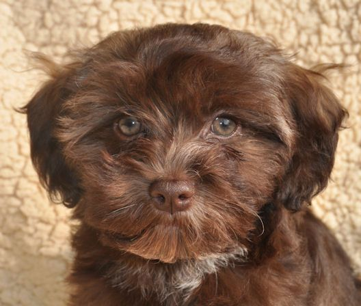 Colors / Colours in Havanese - Havaneser Farben - info chocolate brown colour color -  schokolade Farbe Havaneser