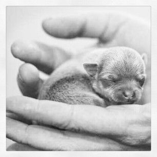 Real small Chihuahua 2 #chihuahua puppy #dogs #cute #eos 5 D Mark II