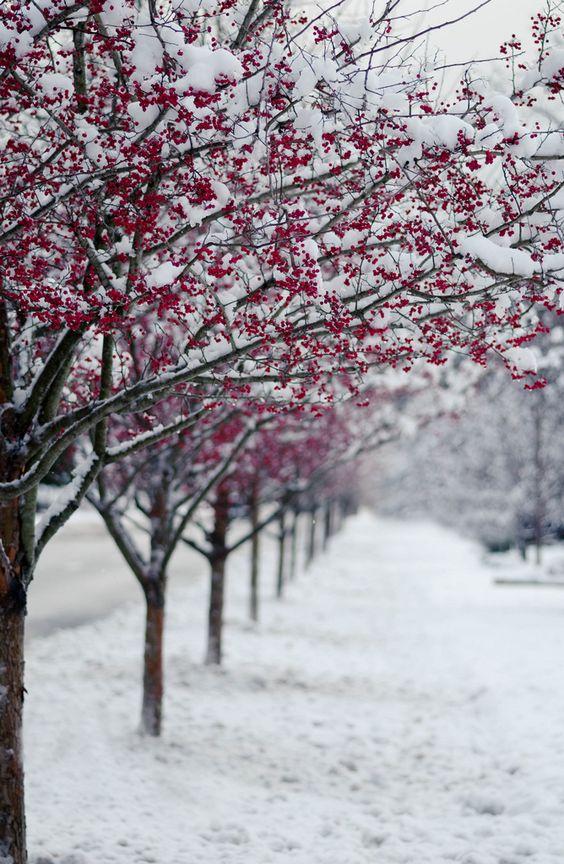 Winter wonderland | red berries in snow avenue