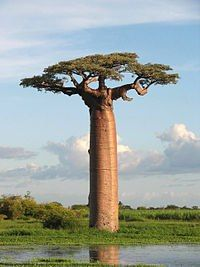 South African tree~    At around 20 metres  tall, the Baobab tree  towers majestically  over its neighbours  on the African  savannahs.  The main  characteristic of the  tree is its broad trunk,  which can reach over  15 metres in  diameter. The tree  behaves much like a  succulent, storing  masses of water in its  trunk. For this reason,  the circumference of a  Baobab can vary  significantly between  wet and dry seasons.