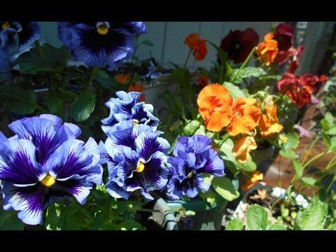 Pansies Harvesting Health Benefits And Uses Pansies Organic Coconut Sugar Refined Coconut Oil
