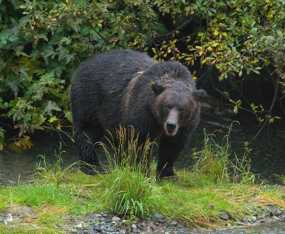When our Alaska Highway road trip took a side road to Stewart, B.C. and Hyder, AK. we saw this big guy: Grizzly bear at Fish Creek Wildlife Observation Site in Hyder, Alaska