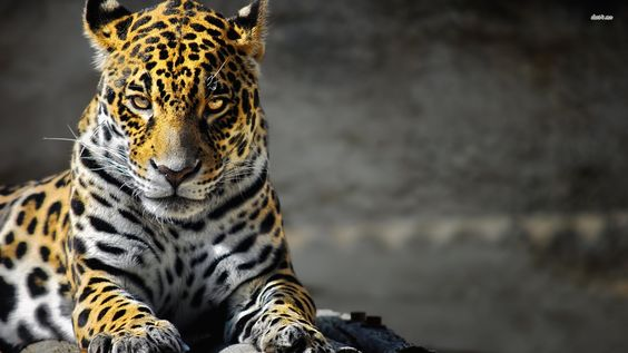 19827-jaguar-1920x1080-animal-wallpaper.jpg (1920×1080)
