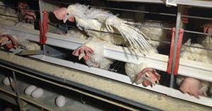 """""""O Grito do Bicho"""": A exploração das galinhas poedeiras na indústria d..."""