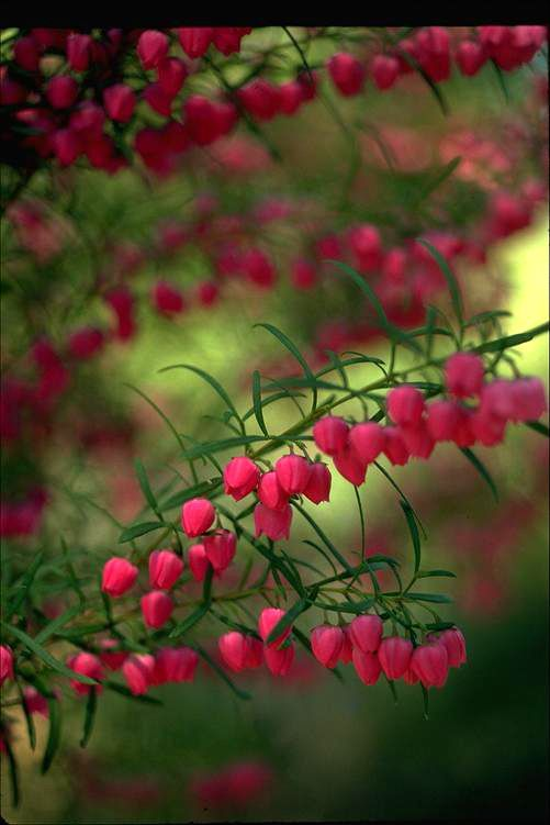 Boronia Australian Native Flowers Native Plants