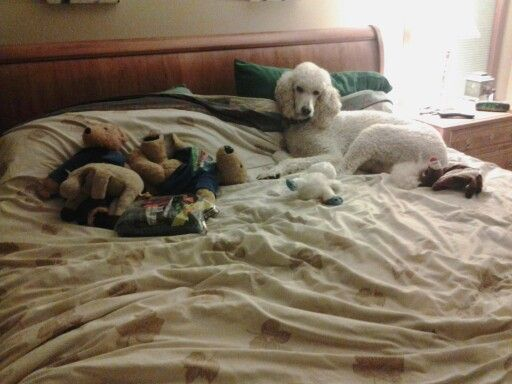 Poodle hoarding on my bed.