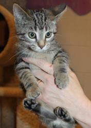 Breeze is an adoptable Domestic Short Hair - Brown Cat in Appleton, WI. DSH—Classic Tabby 3 months old Spayed Female Adoption fee: $125 Fee includes rabies & distemper vaccinations, Feline Leukemia te...