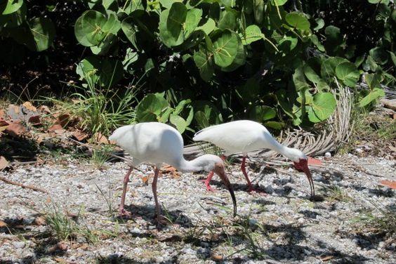 Pair of White Ibis. The Dudes...