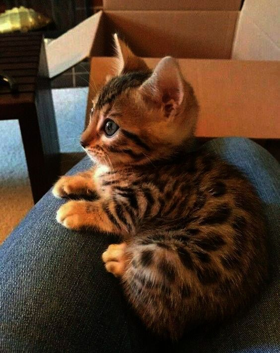 Warum Miauen Katzen Beim Menschen Adorable Cats Adorable