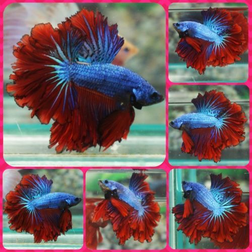 Live betta fish male light blue red apache feathertail for Betta fish light