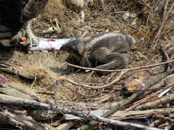 by Paul Christie a fledgling Osprey in one of the neast boexes he set up near the Benet bridge at Kelowna, BC Canada