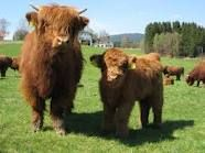 Highland Cattle... Where else but in the Highlands of Scotland   1994 - Check!