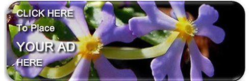 Diospyros mespiliformis RSA Tree No 606 | Jackalberry ,Jakkalsbessie | Plants For Sale South Africa | Plants in Stock