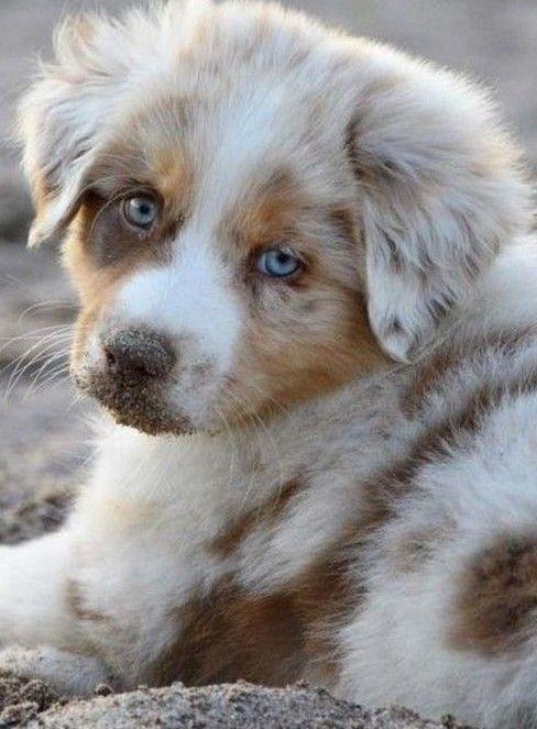 The Smart Aussie Puppy Exercise Needs Australianshepherdsfurever Australianshepherdsofcanada Australianshepherdpup Aussie Welpen Supersusser Welpe Hundebabys