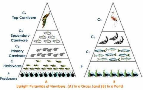 Ecological Pyramid Of Numbers Upright Grassland Pond