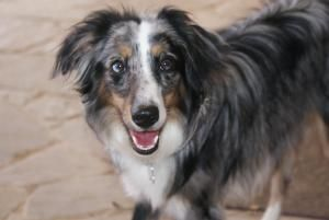 MINI AUSSIE-Harley is an #adoptable Australian Shepherd #Puppy Dog in #Azle, #TEXAS. Harley is a beautiful 10 month old larger Mini Aussie in height however, only 22 lbs. She will need at least 5-8 more pounds to...