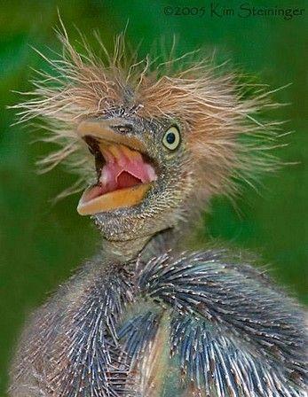 Baby blue heron bird - photo#10