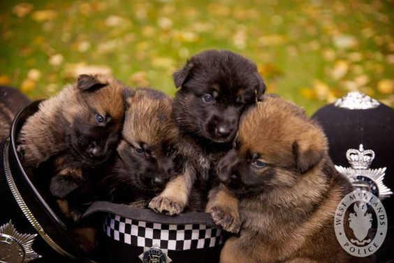 And this crew of police puppies who are preparing for their big days on the job.   42 Pictures That Will Make You Almost Too Happy
