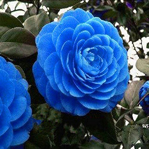 Rare Blue Camellia Seed Pots Flower Seeds Tree Plants Rare Blooming Bonsai Potted Garden Plant Easy To Grow 10pcs B In 2020 Bonsai Flower Flower Seeds Trees To Plant
