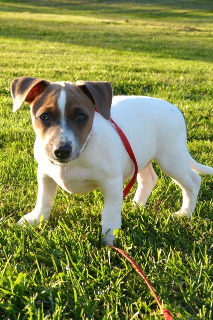 Candy is a 11 week old Jack Russell Terrier mixshe is now learning how to walk on a leash - goes outside to the bathroomAdoption fee is $180.00Adoption fee includes:Spaying or neuteringDistemper/Parvo combo shotDewormingMicrochippedpet food,Free...: