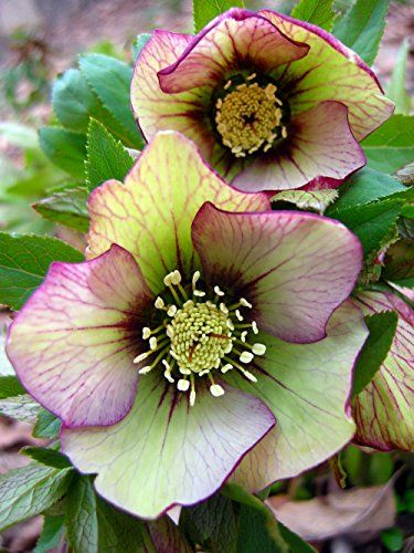 Picotee Lady Christmas/Lenten Rose - Helleborus - Shade Perennial -Gallon Pot: