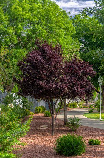 Purple Pony Cherry Plum Tree Dwarf Trees For Landscaping Purple Plum Tree Flowering Plum Tree