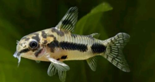 Sexable Size Dainty Corydoras Habrosus Wild 2cm Peaceful Very Lively And Bouncy Tropical Fish Aquarium Aquarium Fish For Sale Catfish For Sale