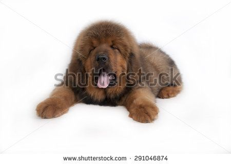 puppy Tibetan Mastiff - stock photo