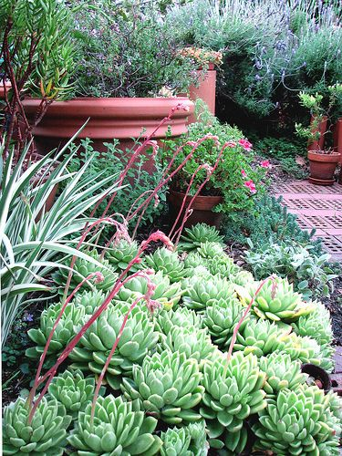 Echeveria 'Gilva Spreader' in the foreground; to its left is Iris foetidissima 'Variegata;' in front of terracota pot is Calamintha nepeta. For the rest click through. Morning in the garden . . . by hortulus