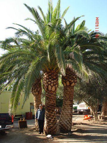 phoenix canariensis canary island date palm i 39 m a. Black Bedroom Furniture Sets. Home Design Ideas