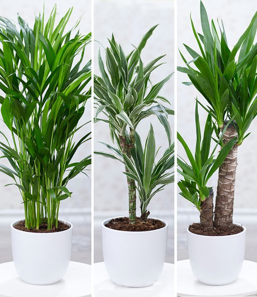 Zimmerpflanzen Mix Palme Xxl 1a Zimmerpflanzen Baldur Garten Zimmerpflanzen Pflanzen Zimmerpflanze Palme