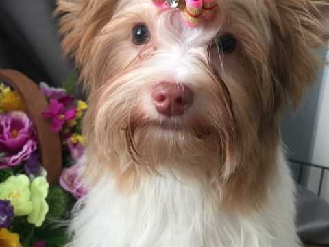 Yorkshire Terrier Biewer Glasgow Lanarkshire Pets4homes Yorkshire Terrier Tiny Dog Breeds Toy Dog Breeds