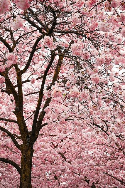 There's always been something peaceful and harmonious about the Cherry Blossom Tree.: