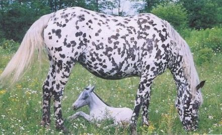 Dazzling Vision Spots - a leopard appaloosa with oddly angular dark spots. Looking closely, it looks like she may have a black leopard pattern overlaid with white snowflakes.