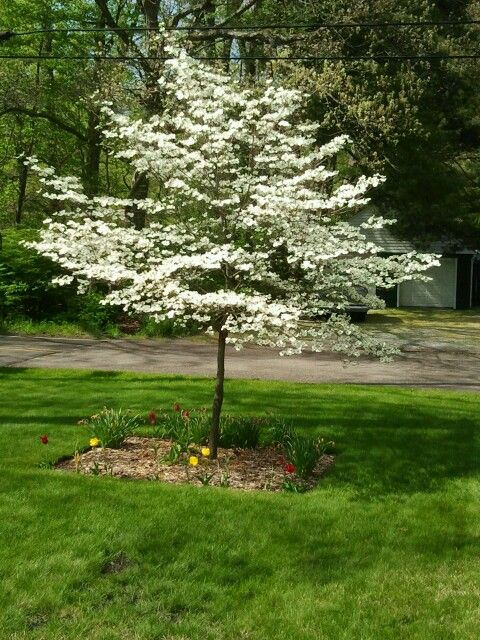 Yards front yards and dogwood trees on pinterest for Small flowering trees for front yard