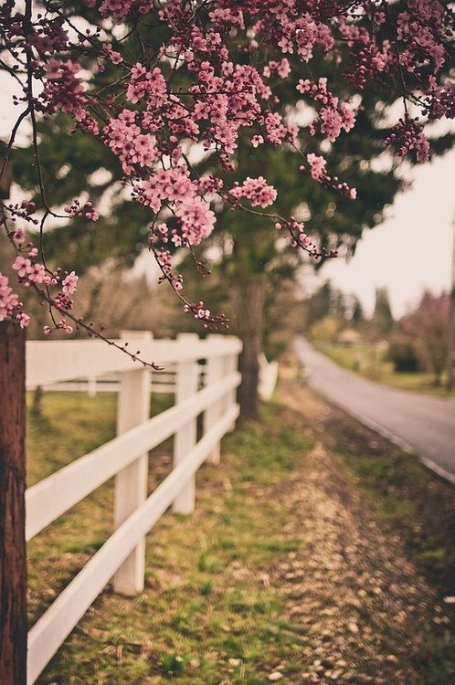 white picket fence + blossoms: