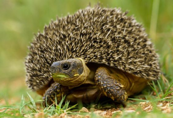 Critically endangered Madagascar hedgeturtle. Most of these animals are killed by non-native predators before reaching maturity (breeding age), which for this species is somewhere between 20 and 25 years.