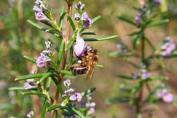 La abeja Apis mellifera alimentándose de la flor del romero, contribuyendo a la dispersión del polen