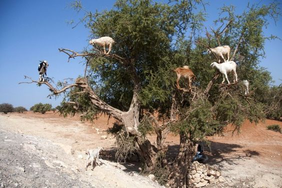 Goats climbing up an Argan tree to its fruit, near Essaouira, Morocco