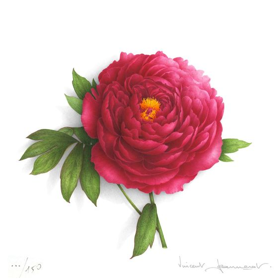 Red peony withe yellow heart