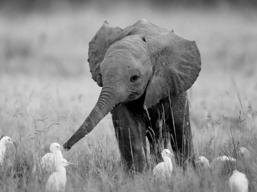 i want a pet baby elephant